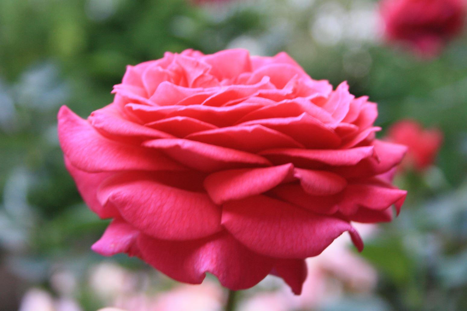 Blumenbeete, Baumarbeiten und Fällarbeiten egal was rufen Sie uns an. Hier sehen Sie eine Blume aus unserem Mustergarten in Augsburgen, Mering oder Fürstenfeldbruck. Die Firma Gartenwicht ist Ihr Partner rund um das Thema Garten und Landschaftsbau